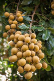Longan Fotos de Stock Royalty Free