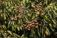 Longan Agriculture Royalty Free Stock Image