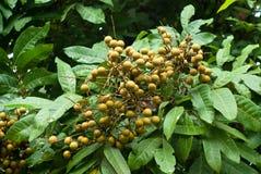 Longan auf dem Baum, Fruchtbauernhof Lizenzfreie Stockfotografie
