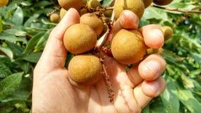 Longan-Bündel (Dimocarpus Longan) Die Finger der Frau Bündel des frischen Longan halten trägt Früchte Lizenzfreies Stockbild