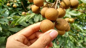 Longan-Bündel (Dimocarpus Longan) Die Finger der Frau Bündel des frischen Longan halten trägt Früchte Stockbild