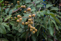 Longan background Royalty Free Stock Photo