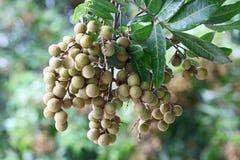 Longan Dimocarpus Royalty-vrije Stock Foto