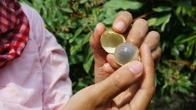 Longan (Dimocarpuslongan) som skalas rymt av två kvinnahänder royaltyfria foton