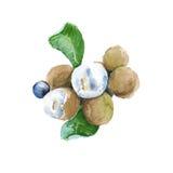 Longan dos frutos tropicais Isolado Ilustração da aguarela Fotografia de Stock