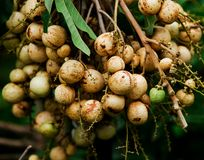 Longan is so fresh Royalty Free Stock Images