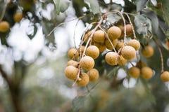 Longan Frucht Stockbild