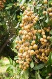 Longan fruit. Hanging on longan tree Royalty Free Stock Photos