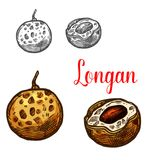 Longan fruit sketch of asian exotic tropical berry. Longan sketch of exotic tropical fruit. Whole and half of asian yellow berry with dark seed isolated symbol royalty free illustration
