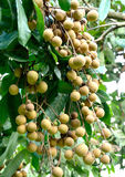 Longan  fruit of Thailand Stock Photography