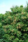 Longan  fruit of Thailand Royalty Free Stock Photo