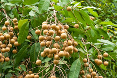 Longan fruit on the tree Royalty Free Stock Photos