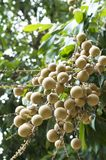 Longan fruit and tree Royalty Free Stock Photos