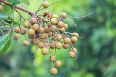 Longan fruit on the tree in the garden, Stock Photos