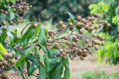 Longan fruit on the tree in the garden, Royalty Free Stock Photography