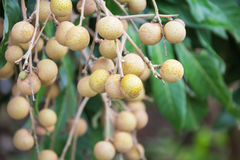 Longan fruit on the tree in the garden, Royalty Free Stock Photos