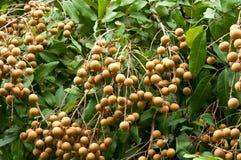 Longan, frutta tropicale sull'albero Fotografie Stock