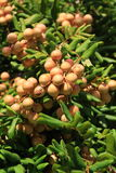 A Longan on the Green Tree. Stock Images