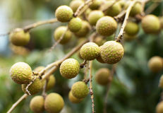 Longan on the green tree Stock Photo