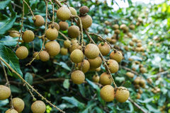 Longan on the green tree. Stock Photos