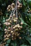 Longan hanging on tree. On green background Royalty Free Stock Photos
