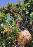 Longan harvest season stock photo