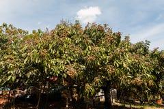 Longan-Landwirtschaft stockfotos