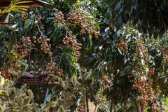 Longan-Landwirtschaft lizenzfreies stockbild