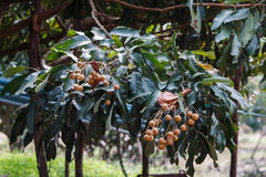 Longan-Landwirtschaft lizenzfreie stockfotografie
