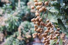 Longan-Landwirtschaft lizenzfreie stockfotos