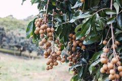 Longan-Landwirtschaft lizenzfreies stockfoto