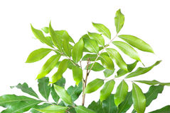 Longan leaves Stock Photography