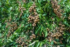 Longan - longan тропических плодоовощей молодой в Lamphun, Таиланде Стоковое Изображение