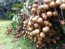 Longan. Lots of longan in the garden , sweet fruit, famous fruit in thailand Royalty Free Stock Photography