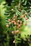 Longan na drzewie Fotografia Stock