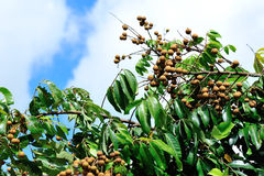 Longan na zielonym drzewie Zdjęcie Royalty Free