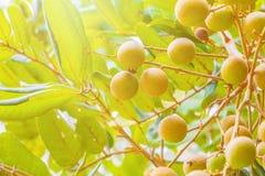 Longan op tropische de vruchten van de boomtuin landbouw in Thailand Stock Afbeeldingen