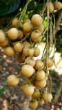 Longan orchards Stock Images