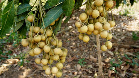 Longan orchards Royalty Free Stock Photography