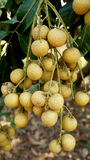 Longan orchards Royalty Free Stock Image
