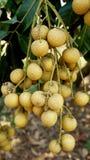 Longan orchards Royalty Free Stock Image