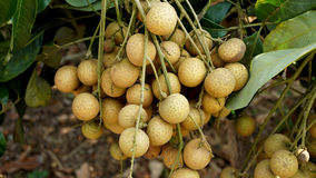 Longan orchards Royalty Free Stock Photos
