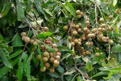 Longan orchards - Tropical fruits young longan in Thailand farm.  Royalty Free Stock Photos