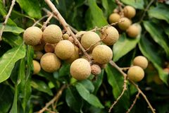 Longan orchards - Tropical fruits young longan in Thailand farm.  Royalty Free Stock Image