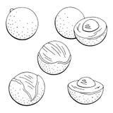 Longan owocowy graficzny czarny biel odizolowywał nakreślenie ustalonego ilustracyjnego wektor Fotografia Royalty Free