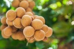 Longan sady - Tropikalnych owoc longan Zdjęcia Stock