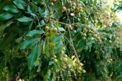 Longan. Soft fruit From green Royalty Free Stock Image