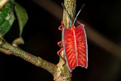 Longan stink bug on green leaf in tropical forests from phuket, thailand. Tessaratoma papillosa Stock Photos