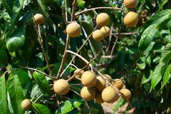 longan sur un arbre photos stock