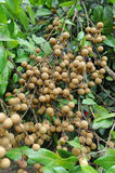 Longan on the tree Stock Image